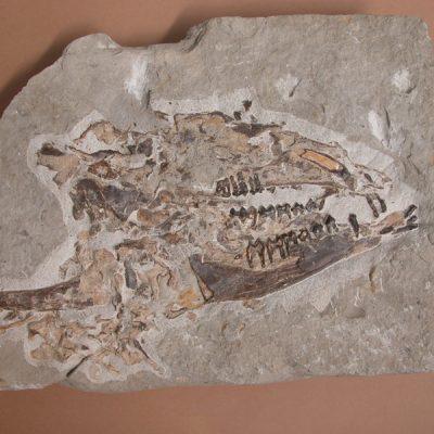 Elomerix Cluae. Pertanyent a la família dels Suidae, és l'ancestre directe del porc senglar actual. L'exemplar consta d'un crani amb les mandíbules i part de les cervicals. Damunt les vèrtebres hi ha un húmer.
