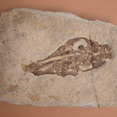 Elomerix Cluae. Pertanyent a la família dels Suidae, és l'ancestre directe del porc senglar actual. L'exemplar consta d'un crani crani sencer en vista ventral. Li manquen totes les dents.