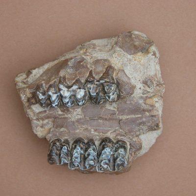 Elomerix Cluae. Pertanyent a la família dels Suidae, és l'ancestre directe del porc senglar actual. L'exemplar consta de un fragment posterior del paladar que conserva els tres molars dels dos costats.