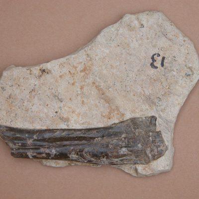 Elomerix Cluae. Pertanyent a la família dels Suidae, és l'ancestre directe del porc senglar actual. Meitat inferior d'un radi i una ulna.
