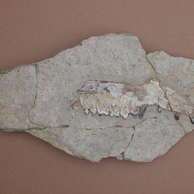 Elomerix Cluae. Pertanyent a la família dels Suidae, és l'ancestre directe del porc senglar actual. mandíbula conservant un incisiu, un caní, P1, P2, P3, P4, M1, M2 i fragments d'M3.