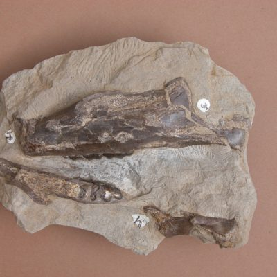 Elomerix Cluae. Pertanyent a la família dels Suidae, és l'ancestre directe del porc senglar actual. Dos fragments de mandíbula del mateix exemplar.