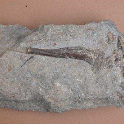 Elomerix Cluae. Pertanyent a la família dels Suidae, és l'ancestre directe del porc senglar actual. Meitat proximal de la tíbia, ròtula i altres fragments d'ossos no identificables.