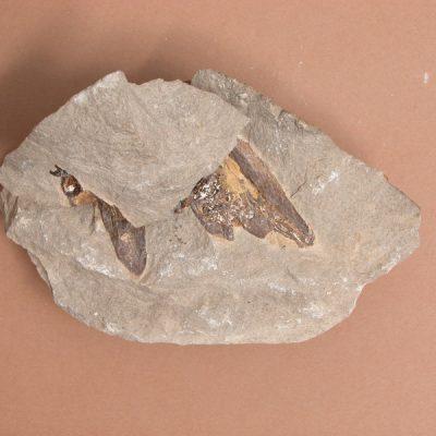 Elomerix Cluae. Pertanyent a la família dels Suidae, és l'ancestre directe del porc senglar actual. Dos fragments de mandíbula que probablement pertanyen al mateix individu.