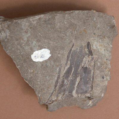 Elomerix Cluae. Pertanyent a la família dels Suidae, és l'ancestre directe del porc senglar actual. Fragment anterior del paladar amb alguna peça dentària.