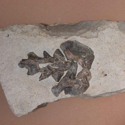 Elomerix Cluae. Pertanyent a la família dels Suidae, és l'ancestre directe del porc senglar actual. Vista ventral de l'axis i atles en connexió anatòmica.