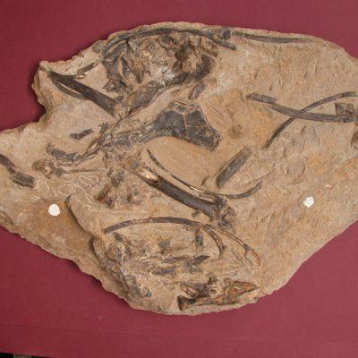 Elomerix Cluae. Pertanyent a la família dels Suidae, és l'ancestre directe del porc senglar actual. Conjunt d'ossos: vàries costelles, húmer fragmentat a la part proximal; meitat distal del radi; les dues branques de la pelvis; l'atles i una cervical; un os del crani aïllat i vèrtebres en connexió anatòmica.