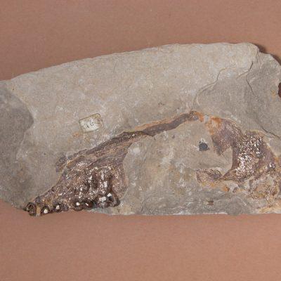 Elomerix Cluae. Pertanyent a la família dels Suidae, és l'ancestre directe del porc senglar actual. Fragment de crani on s'observa l'arcada zigomàtica i part del maxil·lar. Cares inferiors i internes de la sèrie molar i P4.
