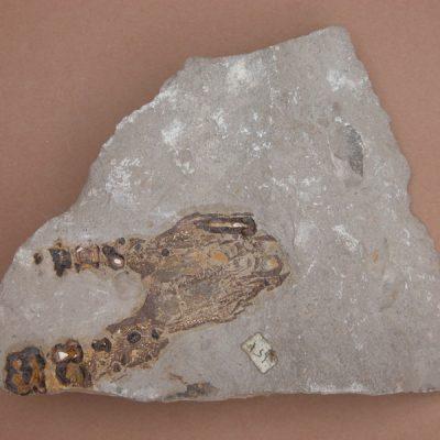 Elomerix Cluae. Pertanyent a la família dels Suidae, és l'ancestre directe del porc senglar actual. Fragment anterior maxilar.