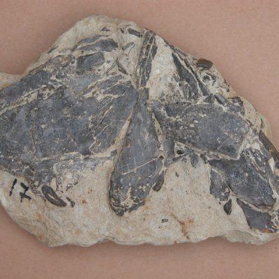 Hispanochampsa müelleri, pertanyent a la família dels Crocodrylae, igual que els Alligator mississipiensis o Caiman latirostis, però amb el morro més arquejat i els marges laterals paral·lels. Fragment de crani amb algunes dents.