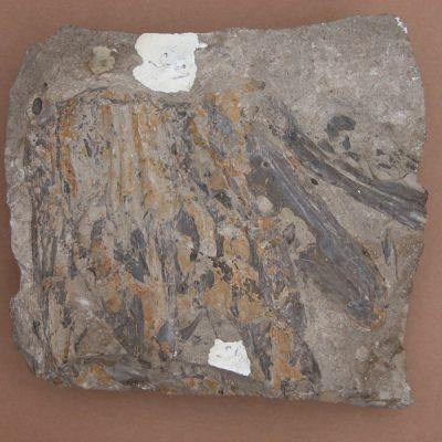 Hispanochampsa müelleri, pertanyent a la família dels Crocodrylae, igual que els Alligator mississipiensis o Caiman latirostis, però amb el morro més arquejat i els marges laterals paral·lels. Fragment cranial.