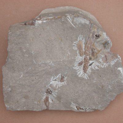 Hispanochampsa müelleri, pertanyent a la família dels Crocodrylae, igual que els Alligator mississipiensis o Caiman latirostis, però amb el morro més arquejat i els marges laterals paral·lels. Conjunt de fragments de plaques de crani i una mandíbula.