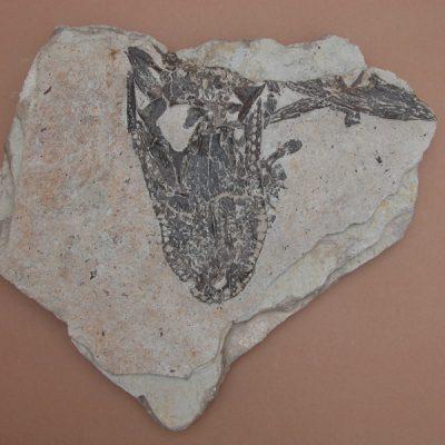 Hispanochampsa müelleri, pertanyent a la família dels Crocodrylae, igual que els Alligator mississipiensis o Caiman latirostis, però amb el morro més arquejat i els marges laterals paral·lels. Crani mancat de la part posterior en vista ventral. Lateralment algún tros de mandíbula.