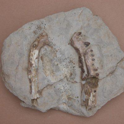 Hispanochampsa müelleri, pertanyent a la família dels Crocodrylae, igual que els Alligator mississipiensis o Caiman latirostis, però amb el morro més arquejat i els marges laterals paral·lels. Branques mandibulars del mateix individu desencaixades.
