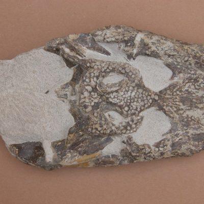 Hispanochampsa müelleri, pertanyent a la família dels Crocodrylae, igual que els Alligator mississipiensis o Caiman latirostis, però amb el morro més arquejat i els marges laterals paral·lels. Crani amb les mandíbules en connexió anatòmica.