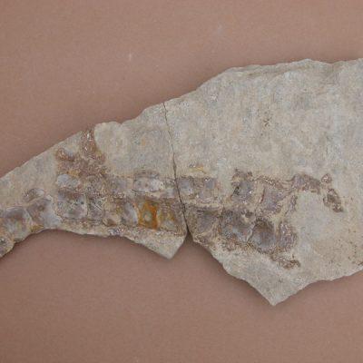 Hispanochampsa müelleri, pertanyent a la família dels Crocodrylae, igual que els Alligator mississipiensis o Caiman latirostis, però amb el morro més arquejat i els marges laterals paral·lels. Conjunt de plaques òssies del crani en vista interna, afloren restes de vèrtebres.