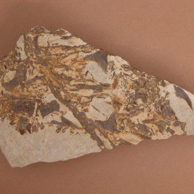 Hispanochampsa müelleri, pertanyent a la família dels Crocodrylae, igual que els Alligator mississipiensis o Caiman latirostis, però amb el morro més arquejat i els marges laterals paral·lels. Crani en vista superior. Mandíbula de cocodril creuada per damunt. Part del contramotlle del MCUT 1536.