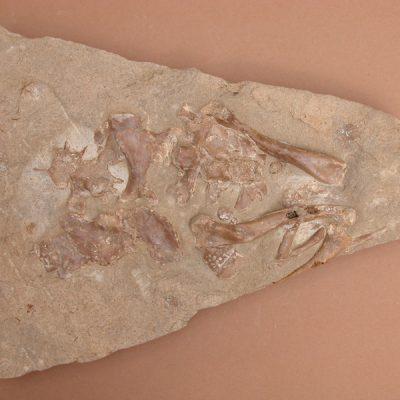 Hispanochampsa müelleri, pertanyent a la família dels Crocodrylae, igual que els Alligator mississipiensis o Caiman latirostis, però amb el morro més arquejat i els marges laterals paral·lels. Placa cranial i restes postcranials: dos fèmurs, un fragment de pelvis i el conjunt de vèrtebres sacres.