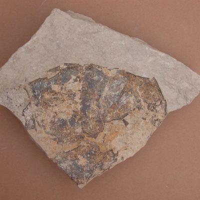 Tortuga; fragment d'epiplastron conservant-se només part de les plaques marginals i centrals d'un costat.