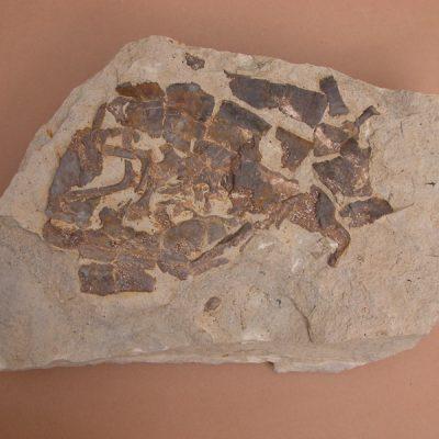 Tortuga; fragment d'epiplastron vist per sota i conservant una sèrie de costelles soltes.