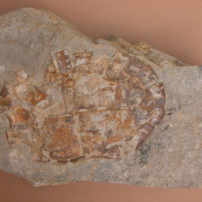 F.Emydidae, Chrysemys astrei. Tortuga pràcticament sencera. Vista inferior del plastron pràcticament sencer menys les plaques anteriors. Es veuen també totes les plaques marginals de l'epiplastron.