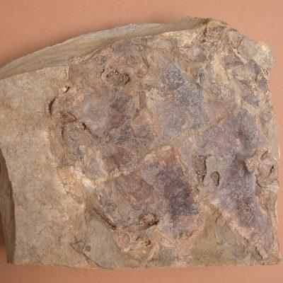 F.Emydidae, Chrysemys astrei. Tortuga, fragment de plastron en vista interna mancant el límit anterior del mateix.