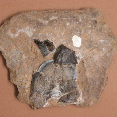 F.Emydidae, Chrysemys astrei. Tortuga, fragment de la part anterior de l'epiplastron.