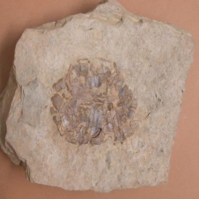 F.Emydidae, Chrysemys astrei. Tortuga, cara interna de l'epiplastron gairebé sencer; conserva algun tros de plastron.