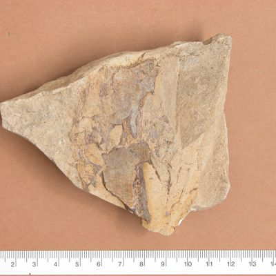 Elomerix Cluae. Pertanyent a la família dels Suidae, és l'ancestre directe del porc senglar actual. Possible omòplat trencat i mancat de la part òssia.