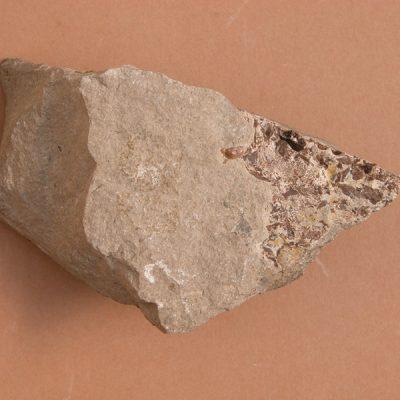 Elomerix Cluae. Pertanyent a la família dels Suidae, és l'ancestre directe del porc senglar actual. Fragment cranial en vista ventral. Paladar i restes d'algunes dents.