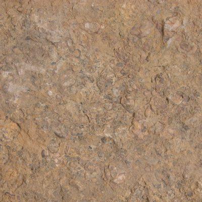 F.Emydidae, Chrysemys astrei. Tortuga, exemplar gairebé complert. La secció fa evident que es conserva l'epiplastron i plastron; apareixen ossos de les articulacions anteriors.