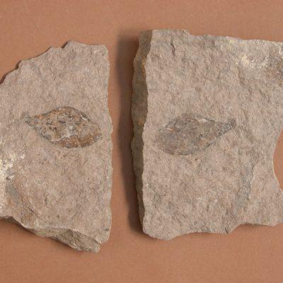 Limnacea longiscata Brogniart, gasteròpode. Motlle i contramotlle d'un exemplar.